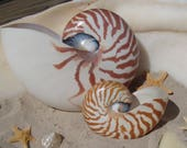 Natural Chambered Tiger Striped Nautilus Shell Collections Weddings Ocean Art Craft Large Seashells Display Accent Decor Fossil Collectibles