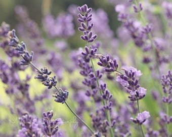 Lavender, Herb, Summer, Floral, Spa, Purple, Photograph, Minimalist, Home decor, Modern, Nature, Original fine art photograph, Print