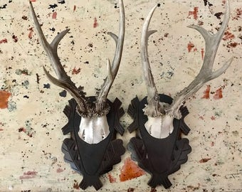 Pair Roe Deer Trophies  Trophy Antler