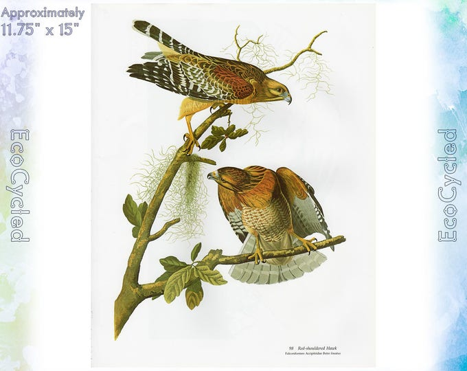 Audubon Red Shouldered Hawk Winter Hawk Birds of America Vintage Art Print Vintage Paper Ephemera from Baby Elephant Folio ready to frame 99