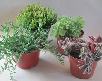Trailing Plants Your Choice Live Potted