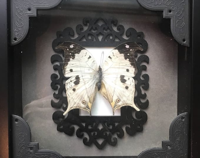Real opal butterfly taxidermy display!