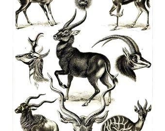 Ernst Haeckel's Vintage Artwork Antilopina