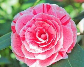 Dad's Pink Camellia Japonica - Live Plant - Quart Pot