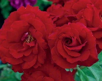 Oh My!™ Rose Bush - Fragrant Red Floribunda 30+ Petals Grown Organic Potted Own Root  - Ships Now