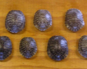 "7 - 4"" Red Ear Slider Turtle Shells"