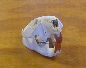 Large Beaver Skull