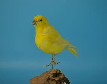 real bird taxidermy bird  , birthday gift,Christmas gift,free shipping to worldwide