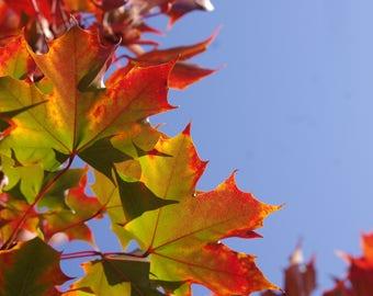 Fall Rainbow Leaves   Art Print   Macro Photography