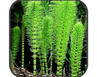 Horsetail Shavegrass - Equisetum Arvense