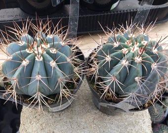 Medium Cactus Plant. Medium Melocactus Azureus Cactus. A beautiful, blue toned cactus.