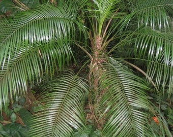 Lytocaryum weddellianum | Miniature Coconut Palm 8 seeds