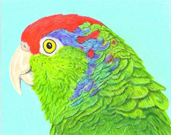 Sally Blanchard Original Prismacolor Pencil Portrait Drawing of a Green-cheeked Amazon Parrot also known as Mexican Redhead Amazon Parrot