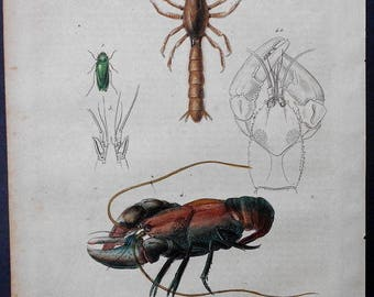 1839: Freshwater Madagascar Crayfish, Astacoides. Engraving. Antique Hand-colored Print, Guerin. Original.