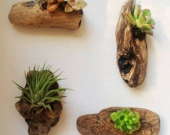 Set of 4 Authentic California Driftwood & Pacific Succulent Handcrafted Magnets