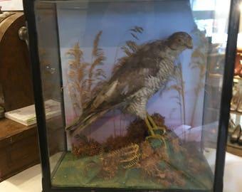 taxidermy hawk in a case