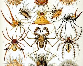 Arachnids: vintage style Ernst Haeckel art science hanging print