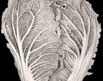 Savoy Cabbage Print, Graphite Art Print, Vegetable Art Print, Wall Art, Kitchen Decor, Original Painting, Botanical Painting