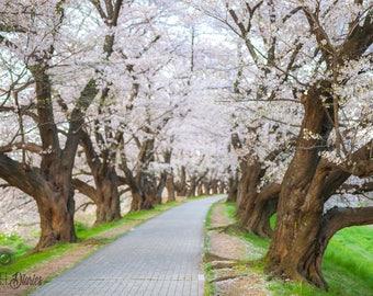 Cherry Blossom Photo, Floral Canvas Art, Large Canvas Prints, Spring Photo Print, Sakura Canvas Prints, Botanical Wall Print