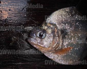 Black Piranha (Serrasalmus rhombeus)