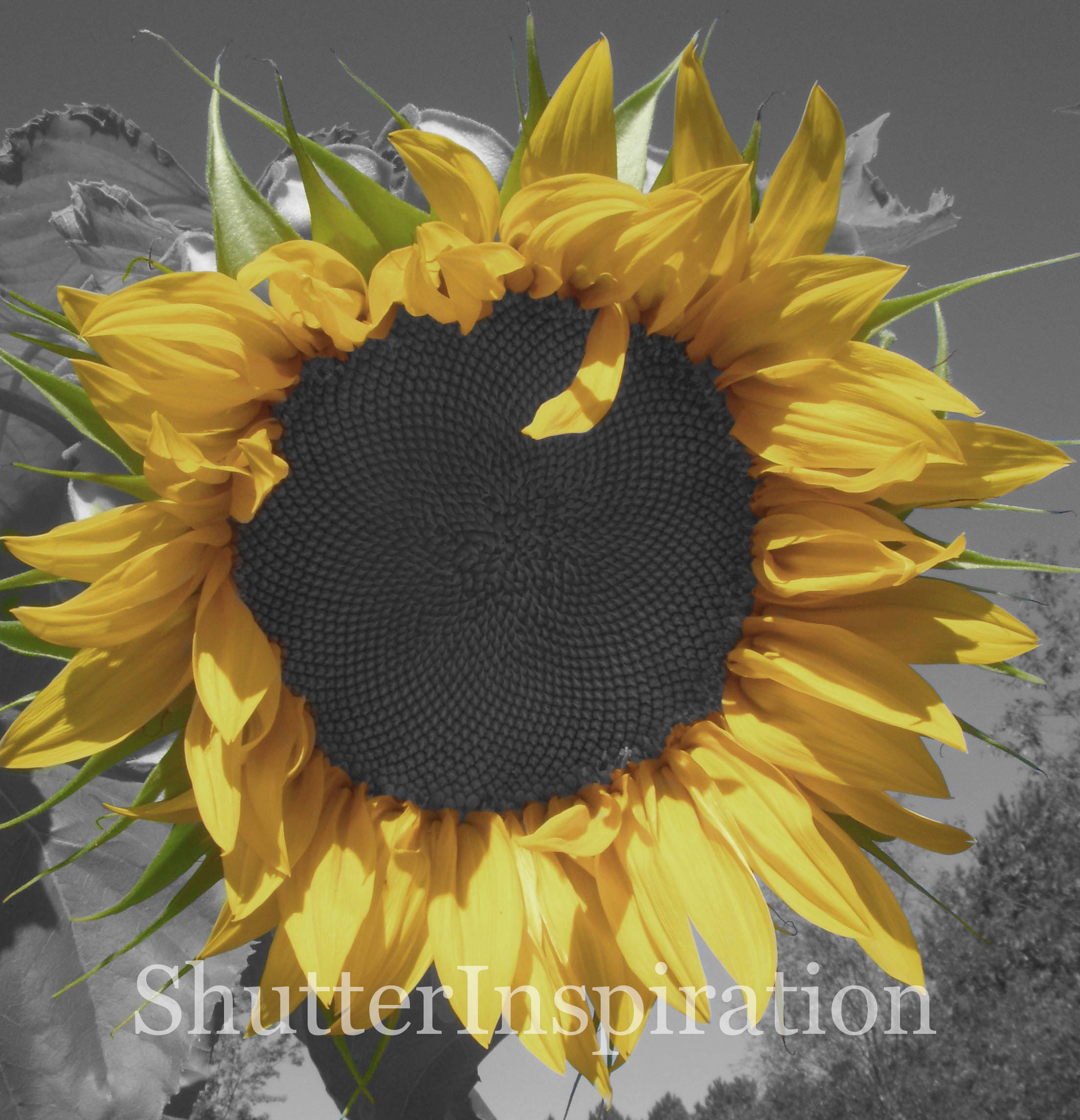 Sunflower Photography, Sunflower Print, Black and White Photography ...