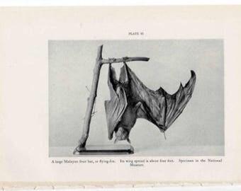 c. 1934 VINTAGE BAT PRINT - original vintage print - animal print - fruit bat