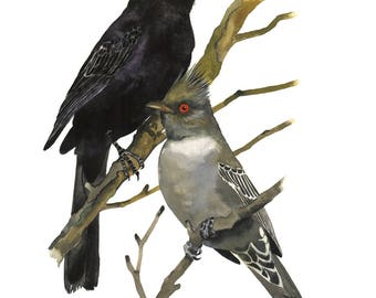 Limited Edition GICLEE MINI Print / Watercolor Painting of Phainopepla