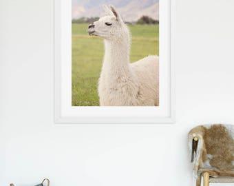 White Llama, Llama photography in color, Llama Print