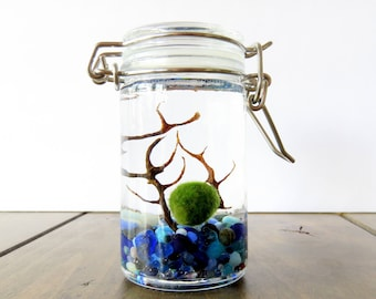 FREE SHIPPING - Tiny Jar Marimo Terrarium: Clear, Blue, White and Red lids, Customizable, Several Pebble Colors