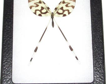 Real framed insect spoonfly nemoptera sinuata Macedonia