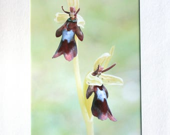 Fly Orchid Card