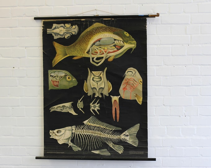 Wall Chart Of The Carp By Jung-Koch-Quentell Circa 1950s