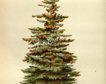 trees-00489 - picea alba European Silver Fir Christmas New Year holidays tree green plants botanical botany wood forest vintage picture high