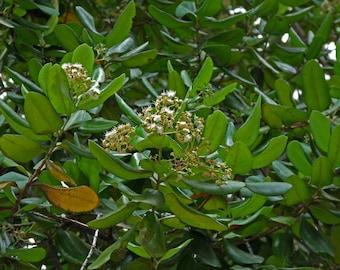 Malagueta Tea (Pimenta racemosa) 20 Servings