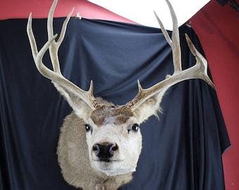 Summer Taxidermy Buck Mule Deer 5x5 nontypical Shoulder Mount