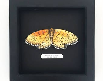 Illustrated Pearl Bordered Fritillary Butterfly Entomology Box