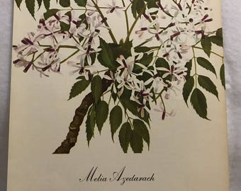 Melia Azedarach (Chinaberry) Bernard & Harriet Pertchik 1951 Print from Flowering Trees of the Caribbean Alcoa Steamship