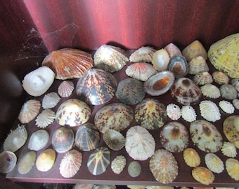 Collection of Limpets, Thorney Oysters + Other Shells from an Old Collection