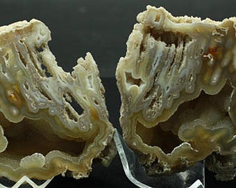 Agatized Coral Fossil, cut pair, Florida - Mineral Specimen for Sale