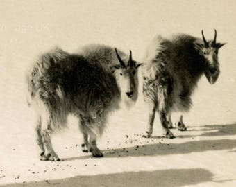 Canadian Goats | Byron Harmon | Wildlife Photograph | Found Photograph | Canadian Postcard | Uncirculated