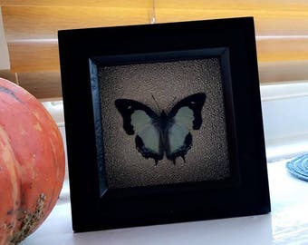 Butterfly Taxidermy small mounted specimen