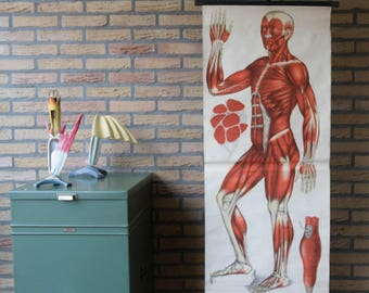 Vintage  Pull Down anatomical Chart  Human Muscles front  School Chart very Rare