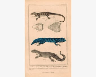 Stellion Lizard and Doryphorus of Daud 1834 Engraved Cuvier Reptile Print Pl 12