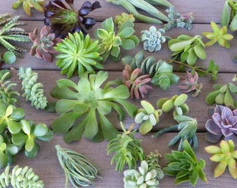 Mini Succulent plant cuttings