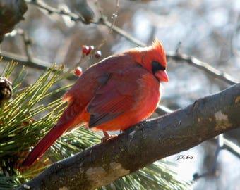 Male Cardinal Sunning 2018