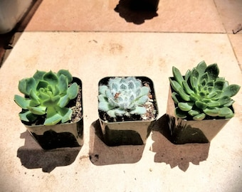 Succulent Rosette Premium 3 Pack - Set #3 as Pictured  - 2 inch Succulents - includes pots -  rooted specimens not succulents cuttings