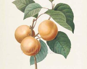 Apricot Botanical Print, Apricot Art Print, Fruit Art, Fruit Print, Wall Art, Kitchen Art, Garden, Redoute Art, yellow, green, Abricot Peche