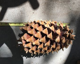 Resevered for Marsha / Coulter Pine Cone