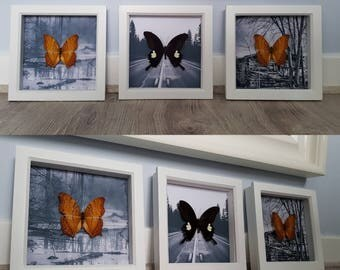 "x3 set Real Taxidermy Butterflies - x2 Vindula Dejone x1 Papilo Nephelus ""Nowhere"""