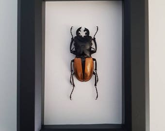 Real Taxidermy - Stag Beetle